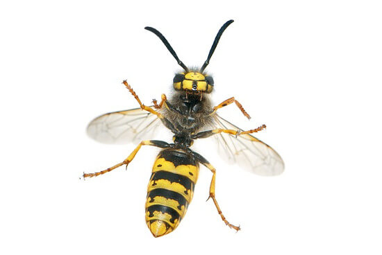 Wasp Nest Removal Services